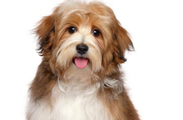 Cute,Happy,Red,Parti,Colored,Havanese,Puppy,Dog,Is,Sitting